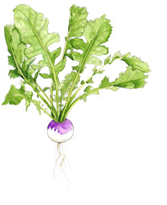 A garden fresh turnip, in watercolour and pencil.