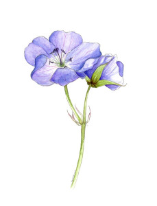 A cranesbill flower, in watercolour and pencil.
